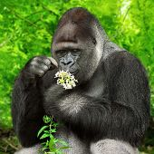 Large silverback gorilla gently holding a bunch of little flowers and observing them closely poster