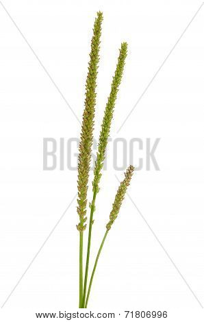 Plantago stems isolated on a white background poster