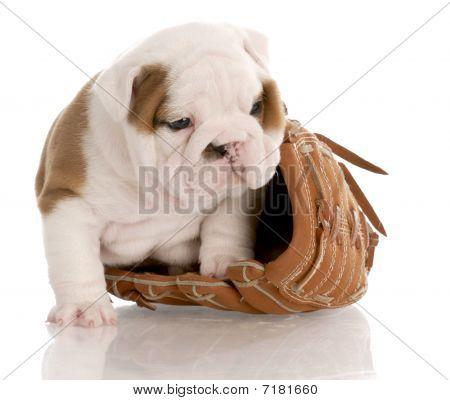 english bulldog puppy sitting inside leather baseball glove with reflection on white background poster