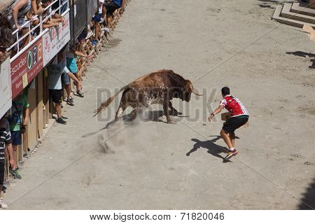 SEGORBE, SPAIN - SEPTEMBER 9, 2014: The Festival of Bulls and Horses in Segorbe.  Participates of the festival are taunting a bull as part of the annual festival.
