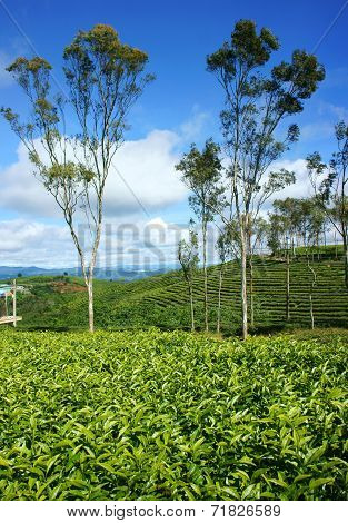 Beautiful Landscape, Tree, Tea Hill, Dalat Travel