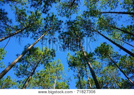 Beautiful Vietnam Landscape, Dalat Pine Jungle