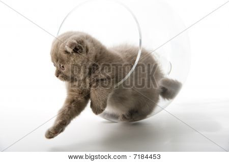 The Scottish lop-eared kitten plays in the big glass poster