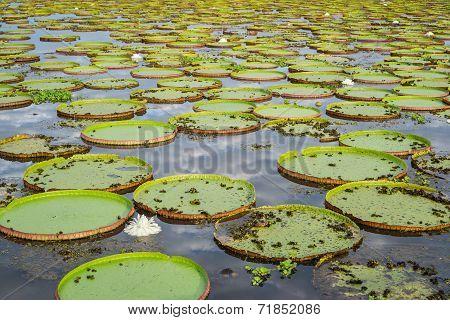 Brazilian Panantal and Victoria Regia plant over river