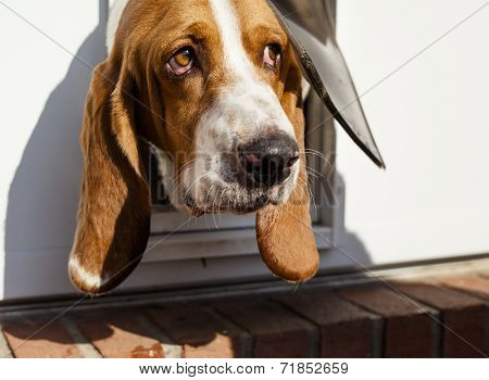 Curious Basset hound peaking head out of pet door