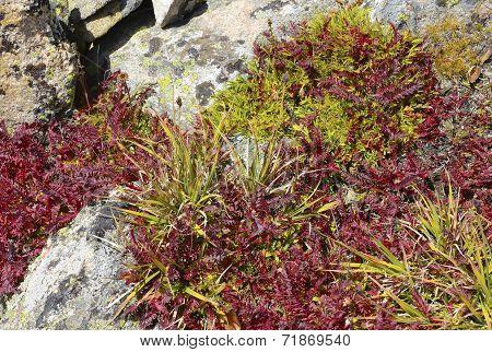 Autumn colors in alpine tundra, rocky mountains USA