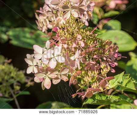 Overblown Flowers Of A White Panicle Hydrangea From Close