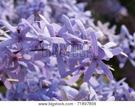 Purple Wreath Or Sanpaper Vine Flower Selective Focus In Nature