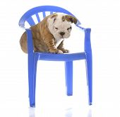 english bulldog puppy sitting on blue plastic chair with reflection on white background poster