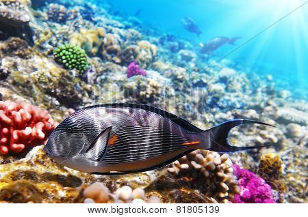 Coral and fish in the Red Sea.Fish-surgeon.Egypt poster