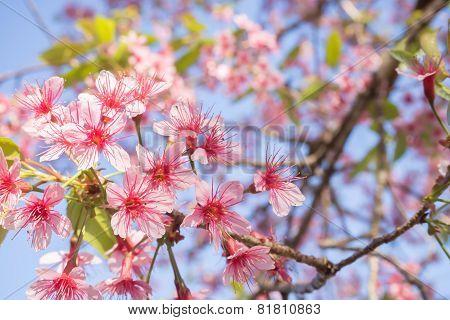 Cherry blossom of Thailand