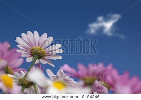 Pink Daisys
