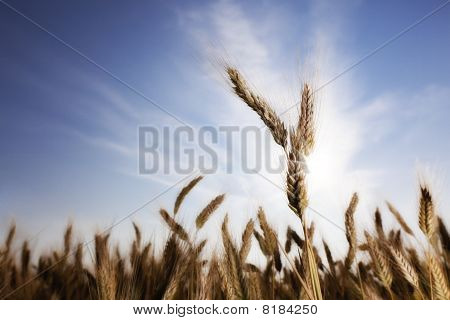 Wheat With Sun