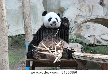 Giant Panda, Named Chuang Chuang, In Chiangmai Zoo, Thailand
