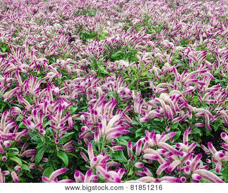Field of Gooseneck Flowers