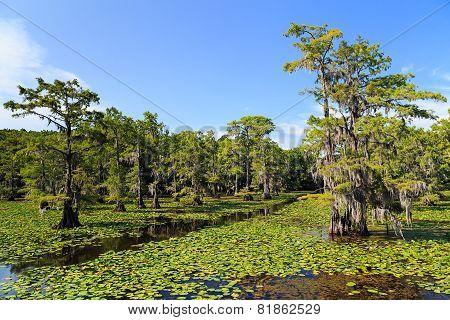 Cypress trees at Caddo Lake Texas
