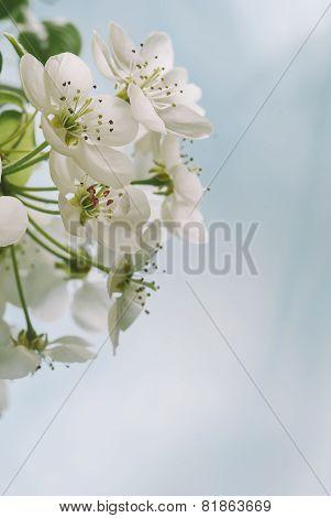 Pale Spring Blossom Macro