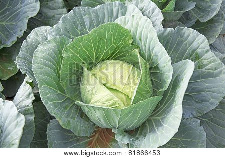 Single Cabbage Ready For Harvesting