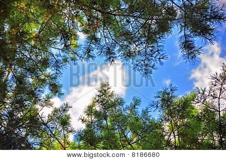 pines with green branches on blue sky