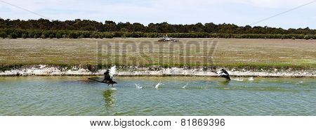 Black Swans Taking Off