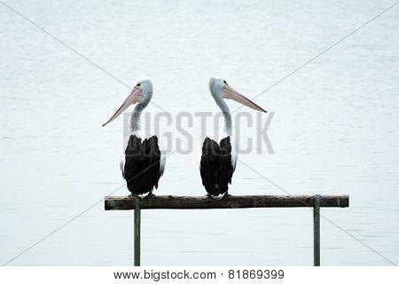 Pelicans Looking Around