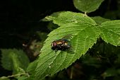Common green bottle fly (Lucilia sericata) on a leaf poster