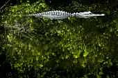 Alligator Lurking in the dark waters of Everglades National Park poster