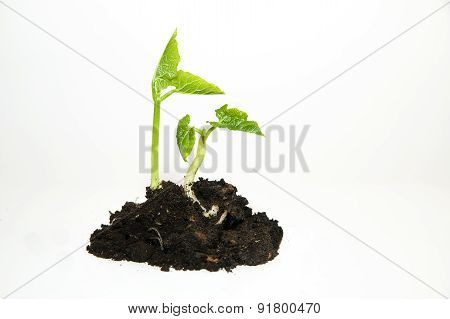 The Plants Grows From A Pile Of Soil On A White Background