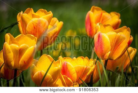 Beautiful bouquet of colorful natural tulips in habitat