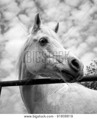 Beautiful white Arabian horse looking right