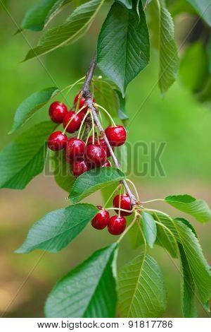 Cherries trees, close-up