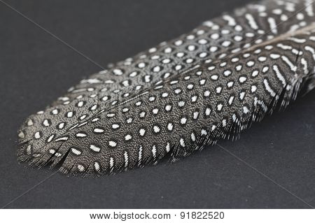 Guinea fowl feather.