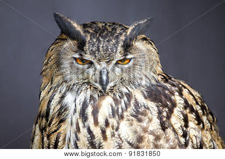 Closeup picture of stare-looking eagle owl - detail