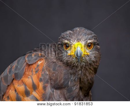 Close up picture of stare-looking young golden eagle