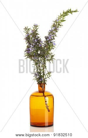 Rosmarinus officinalis or Rosemary plant in apothecary bottle isolated on white background