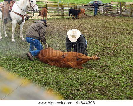 Branding Cows