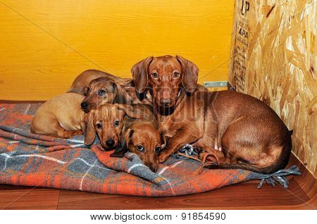 The puppies and mother dog. The breed of the dog smooth coated standard dachshund.