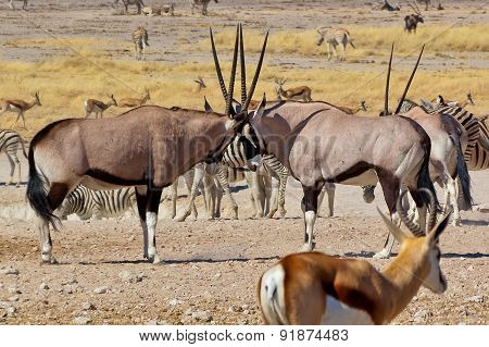 Two oryx antilopes fighting with their horns. African nature and wildlife reserve, Etosha, Namibia