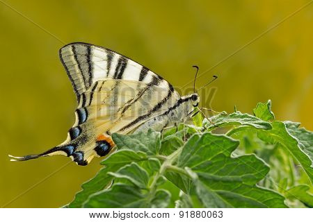 giant Swallowtail butterfly on green plant