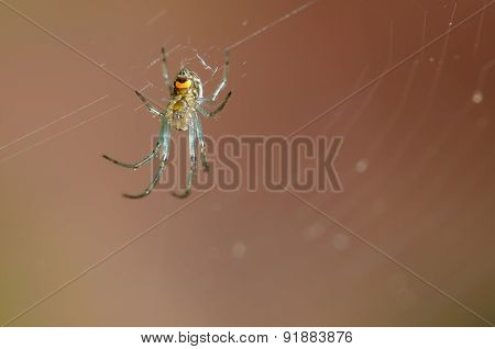 Orchard Orbweaver Spider Hanging From A Web