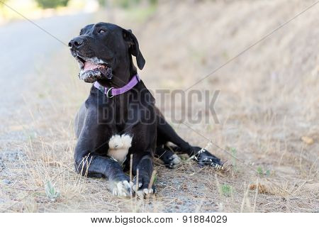 Close up image of a great dane hound laying on the ground