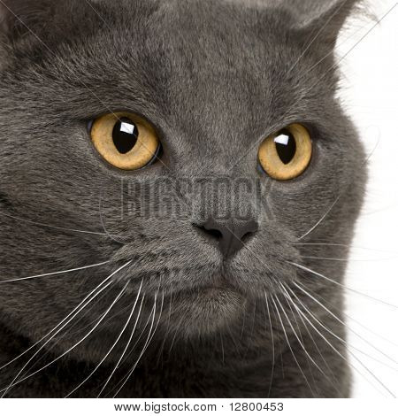 close up of a Chartreux (3 years old)