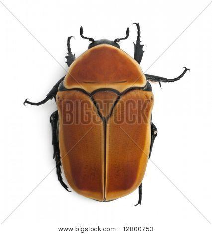 Pachnoda marginata, a species of beetle, Flower chafer, in front of white background