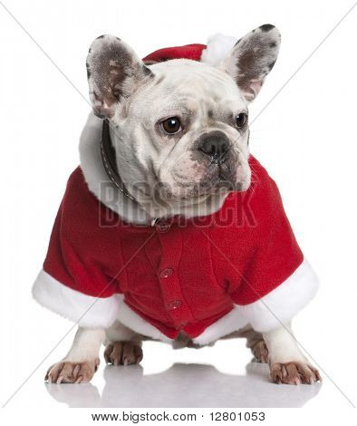 French bulldog in Santa coat, 3 years old, sitting in front of white background