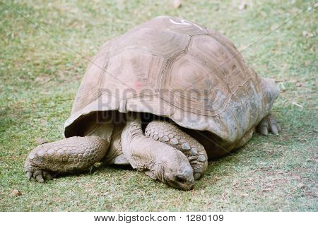 beautiful giant turtle at park in mauritius poster