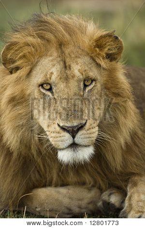 Close-up portrait of Lion, Serengeti National Park, Serengeti, Tanzania, Africa