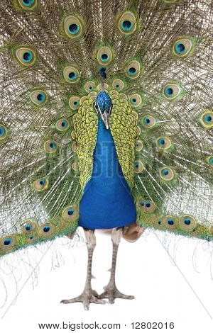 Front view of Male Indian Peafowl displaying tail feathers