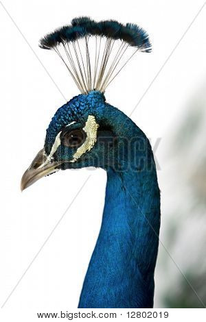 Close-up of Male Indian Peafowl in front of white background