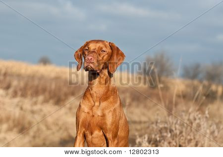 Portrait Of A Sitting Vizsla Dog