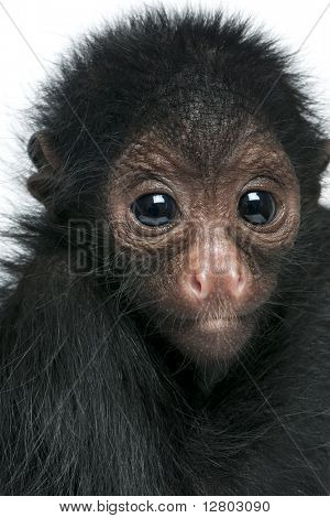 Close-up of Red-faced Spider Monkey, Ateles paniscus, 3 months old, in front of white background poster